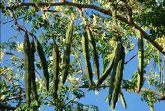 Top 14 Health Benefits of Moringa