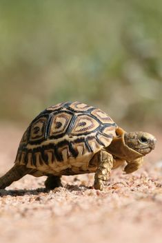 A very small leopard tortoise walks across a gravel road. Happy Animals, Cute Animals, Small Animals, Baby Tortoise, Cute Tortoise, Little Live Pets, Baby Leopard, Reptiles, Lizards