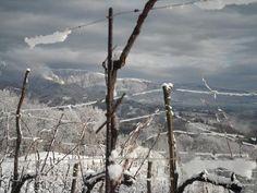 Gennaio 2013: le viti sonnecchiano al fresco.