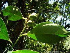 Citronella paniculata - Congonha, Erva-d'anta. Flora Digital do Rio Grande do Sul e de Santa Catarina: Citronella paniculata