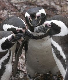 It must be a very important meeting!  Penguin Huddle