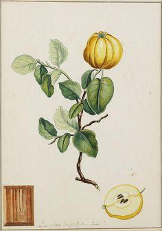 Obst- und Blumenzweige, Quitte, 1780