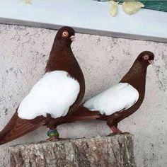 Domestic doves
