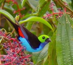 The Paradise Tanager, a South American songbird