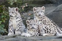 Snow leopard | Snow Leopard Cubs » Marwell Wildlife Gallery