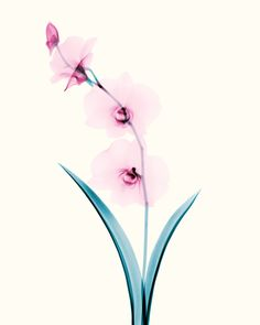 """""""Nobody sees a flower - really - it is so small it takes time - we haven't time - and to see takes time, like to have a friend takes time.""""  ― Georgia O'Keeffe, Georgia O'Keeffe  X-rays of Flowers 02 on Behance"""
