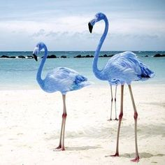 Rare blue flamingos, they do exist!