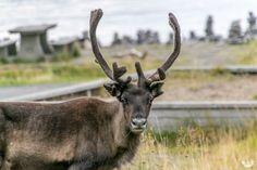 Auf dem Weg zum Nordkap – Tierische Begrüßung in Norwegen!
