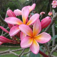 Plumeria. Have these all over my yard so easy to replant just break off a branch and plant in soil :)