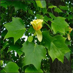 Cut Flowers, Colorful Flowers, Best Shade Trees, Green Leaves, Plant Leaves, Orange Band, Deciduous Trees, Plantation, Bright Green