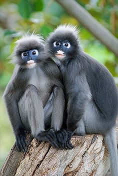 Dusky Leaf Monkeys