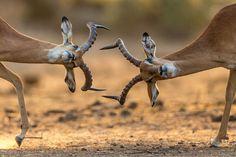 Just Impalas... Photo by Kanwar Deep Juneja -- National Geographic Your Shot