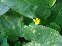 Flor Amarilla by kevinslj, via Flickr