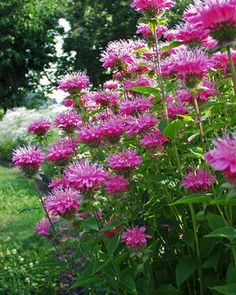 "Monarda didyma Marshalls Delight Bee Balm Height: Medium to Tall 28"" (Plant 14-18 apart) Bloom Time: Early Summer to Early Fall Sun-Shade: Full Sun to Half Sun/ Half Shade Zones: 4-9 Soil Condition: Normal, Clay Flower Color / Accent: Pink / Pink Clear pink flowers differ from most Bee Balms, with full round flower ball shape. Foliage will release a spicy fragrance when crushed and can be used to make herbal tea. It makes a great addition to the cutting garden."