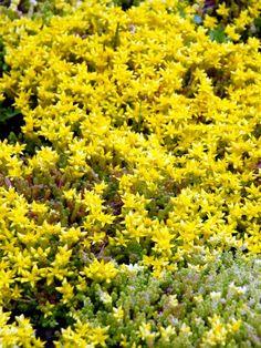 Gul Fetknopp, Sedum acre 'Yellow Queen'. Mattbildande perenn med gula blommor och gulgrönt bladverk. Blommorna sitter glesa kvastar och varje blomma liknar en liten stjärna. Blommar juni-juli.