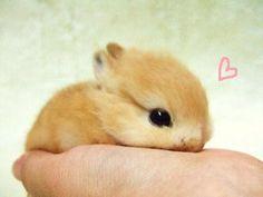 •♥•✿ڿڰۣ(̆̃̃•Aussiegirl  #Adorable Teacup Bunny.