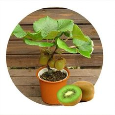 Cheap kiwi seeds, Buy Quality tree seeds directly from China bonsai plants Suppliers: kiwi seeds 200 pcs Thailand Mini Kiwi Fruit Bonsai Plants, Delicious Small Fruit Trees Seed for home garden Plantas Bonsai, Bonsai Seeds, Tree Seeds, Small Fruit Trees, Bonsai Fruit Tree, Mini Bonsai, Banana Seeds, Pot Jardin, Fruit Plants
