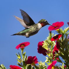Moment Of Joy Hummingbird Square by Christina Rollo