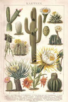 Cacti vintage botanical art