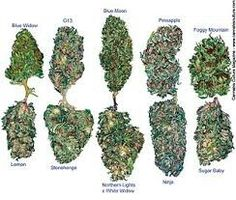 So many Different types of Bud. Better if the buds tight & compact than leafy.