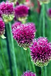 We recommend planting these Allium sphaerocephalon bulbs in clumps among perennials and alongside other bulbs. They look gorgeous en masse when they break bud. Summer Flowers, Cut Flowers, Colorful Flowers, Wild Flowers, Spring Flowering Bulbs, Spring Bulbs, Daffodil Bulbs, Daffodils, Flowers