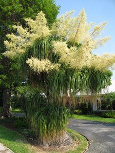 Gorgeous pony tail palm tree