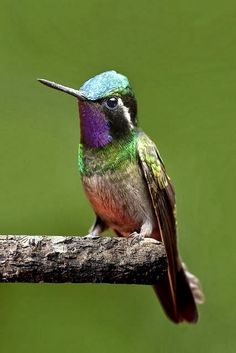 Male purple-throated mountain-gem, Monteverde Cloud Forest, Costa Rica