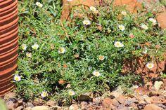 Gardening in Africa: Erigeron and summer in the garden