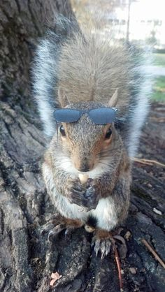 Sneezy the Penn State University squirrel in some cool shades