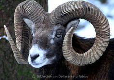Mufflon-Kopf Schneckenhörner Foto braunes Wildschaf Porträt Maul Augen Tierblick