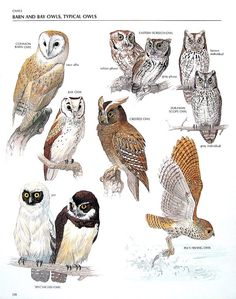 Vintage Bird Print Common Barn Owl Bay Owl by mysunshinevintage