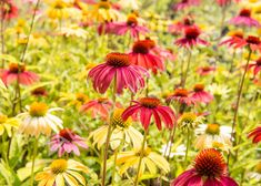 Třapatka nachová 'Cheyenne Spirit' - Echinacea purpurea 'Cheyenne Spirit' | Zahradnictví FLOS Colourful Garden, Plants, Color, Colour, Plant, Planets, Colors