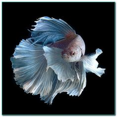 Learn These Facts About Betta Fish. One of the most facts about betta fish is related to its name. Betta is the name of an ancient warrior.