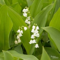 It's no surprise that spring brides often carry the fragrant, pendulous pink or white flowers of lily-of-the-valley as they walk down the aisle. For decades this sweet little perennial has come to symbolize humility, purity, and the return of happiness. Growing just 6-8 inches tall, lily of the valley, Convallaria majalis, spreads quickly in shady locations with rich, slightly moist soil. The plant's light green leaves pop up in the early spring and are followed by the short, graceful flower…