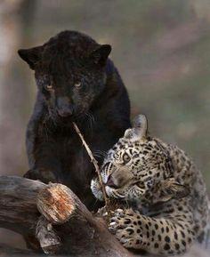 Leopards Kitty like!