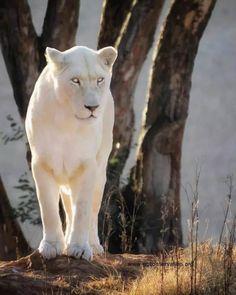 Rare Albino Animals, Unusual Animals, Majestic Animals, Jungle Animals, Animals And Pets, Wild Animals, Beautiful Cats, Animals Beautiful, Lion Pictures