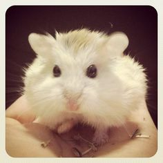 Find out more about dwarf hamsters and how to take care of them. Includes facts, photos, videos, and plenty of tips and tricks for dwarf hamster owners Roborovski Hamster, Dwarf Hamsters, Animals And Pets, Chloe, Cats, Board, Animales, Pets, Gatos