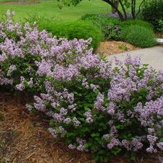 dwarf korean lilac - 3 planted in front