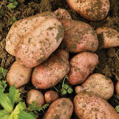 Potato 'Sarpo Mira' - Maincrop - Thompson & Morgan
