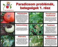 Paradicsom betegségek, problémák - gazigazito.hu