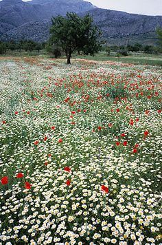 Wild Flower Meadow - photo by Tony Craddock, via Science Photo Library;   Red poppies (family Papaveraceae) and white daisies (family Composite);  on the island of Crete, Greece