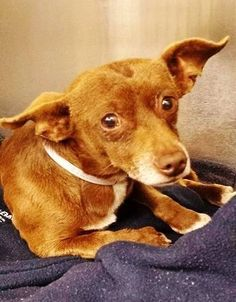 SAFE --- This little angel is small and sweet and in the medical building of the shelter. Please SHARE, a FOSTER would save his life. Thanks!  #A4802424 I'm an approximately 3 years, 11 month old male chihuahua sh.  https://www.facebook.com/171850219654287/photos/pb.171850219654287.-2207520000.1424778161./374841269355180/?type=3&theater