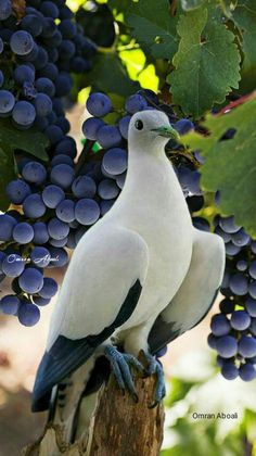 ) rock dove against grapes. Possibly by Gary Romig. Kinds Of Birds, All Birds, Cute Birds, Pretty Birds, Beautiful Birds, Animals Beautiful, Beautiful Pictures, Exotic Birds, Colorful Birds