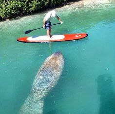 Manatee meeting, on a StandUp Paddle board. Sup Stand Up Paddle, Kayak Paddle, Sup Girl, Key West Vacations, Sup Yoga, Standup Paddle Board, X Games, Paddle Boarding, Water Sports