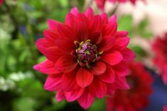 Passionate Dahlia | Tina Stadeli | Flickr