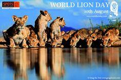 10 augustus 2013 is uitgeroepen tot World Lion Day. Heel veel organisaties die zich wereldwijd inzetten voor de leeuw, komen die dag in actie om aandacht te vragen voor de Koning der dieren, die helaas met uitsterven wordt bedreigd. Ook SPOTS zal hieraan meewerken. Deze dag valt midden in onze brulactie, een actie waarbij we gedurende een periode van twee maanden nadrukkelijk aandacht vragen voor de met uitsterven bedreigde leeuw.