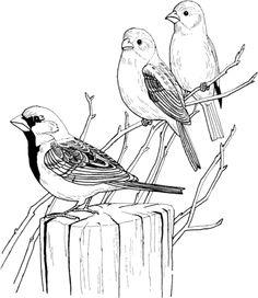 Tres Gorriones Domésticos Dibujo para colorear