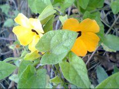 黑眼花  橙黃色或黃白色,中央喉部黑紫色