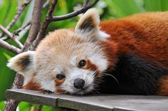 Cool Red Panda Images