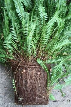 HOW TO: repot a root bound fern